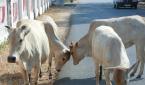 인도의 흰 소