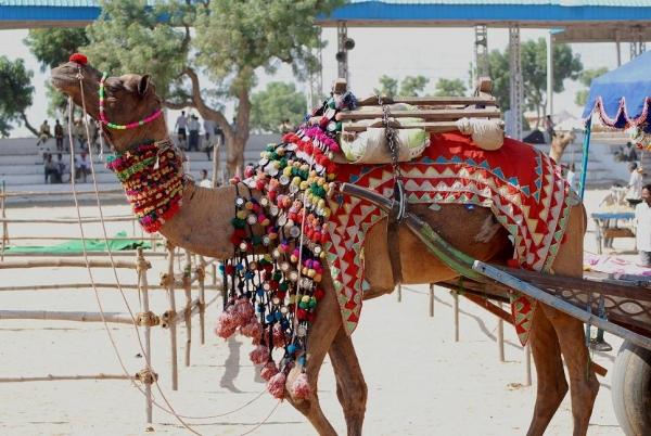 라자스탄 뿌쉬까르 멜라 축제에서 갖가지 장식품으로 꾸민 낙타의 모습.